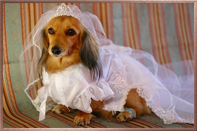 Wedding Wear on Here  Was To See So Many Dogs Dressed In Kimono  Wedding Dress Etc